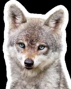 狼 オオカミ