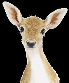 動物 子鹿